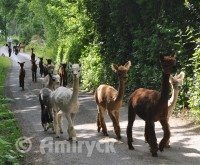 Amiryck - Alpaca for sale