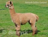 Amiryck Golden Garland - Fawn female alpaca for sale