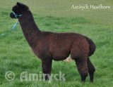 Amiryck Hawthorn - Dark brown male alpaca wether for sale