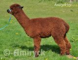 Amiryck Ivy - Brown female alpaca for sale