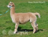Avon Water Moselle - Fawn female alpaca for sale