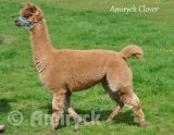 Amiryck Clover - Fawn / light brown female alpaca for sale